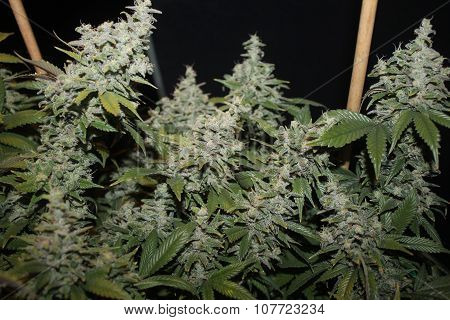 Medical Marijuana White Widow Colas