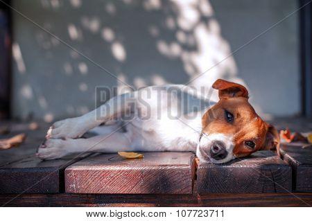 jack russel on autumn porch