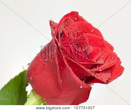 Wet red petals