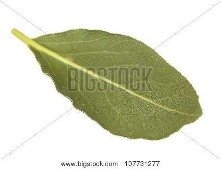 Fresh bay leaf, isolated on white