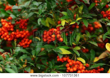 Ash berry tree closeup
