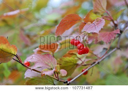 Guelder rose on a bush