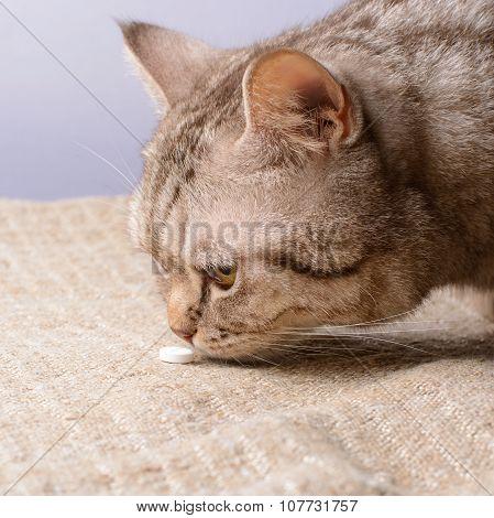 Cat Of The British Breed