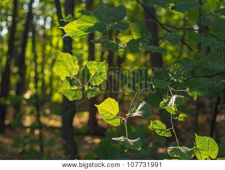 Leaves Of Linden In The Morning Forest