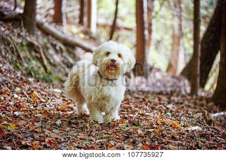 White Havanese Dog In Forrest On Sunny Autumn Day
