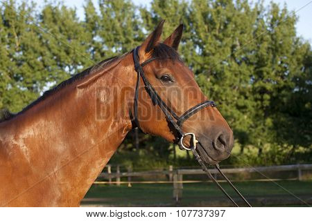 Holsteiner Horse With Bridle
