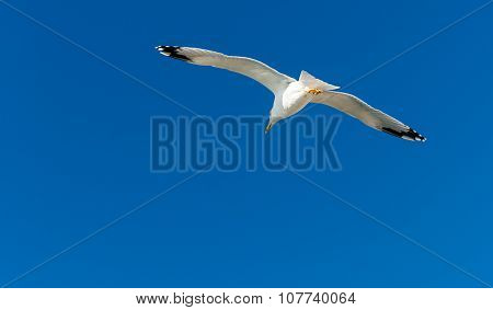 Seagull gliding in air