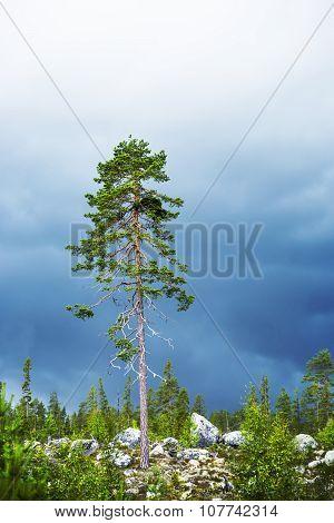 Pine Tree In Scandinavian Forest