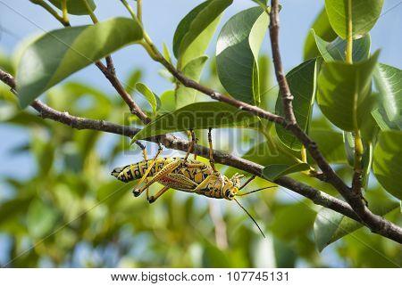 Grasshopper on Branch upside-down