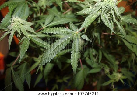 Medical Marijuana Leaves