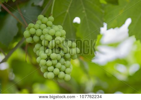 Young green grapes on vineyard Tak ,Thailand.