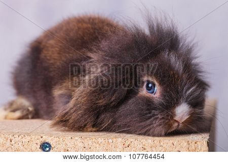 Side view of a cute lion head rabbit bunny looking at the camera while lying on a wood box.