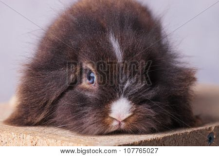 Close up picture of a furry lion head rabbit bunny lying his head on a wood box.