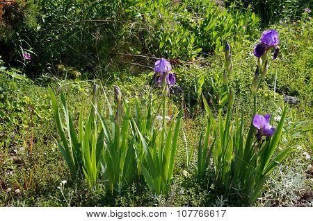 Purple Bearded Irises