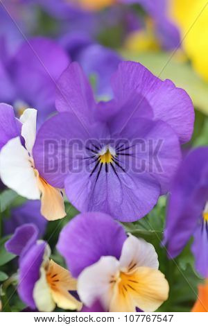 Purple Pansy Flower.
