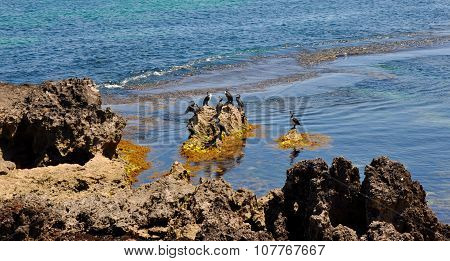 Australian Pied Cormorants at Cape Peron, Western Australia