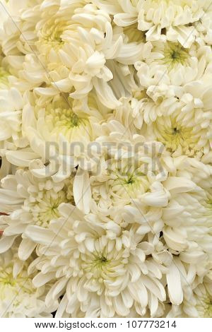White Chrysanthemum Flower As Background Texture (chrysanthemum Morifolium)