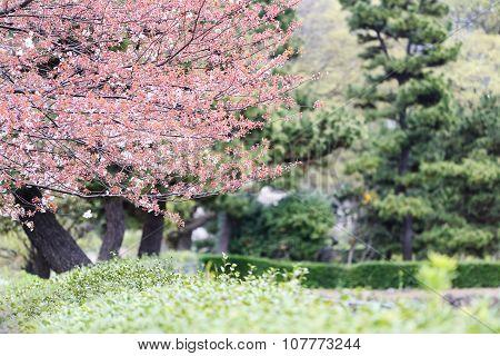 Pink Sakura Flower Or Cherry Blossoms.