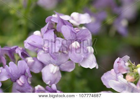 Purple Flower Is Blooming.