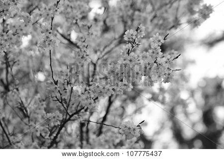 Sakura Flower Or Cherry Blossoms ,black And White Style.