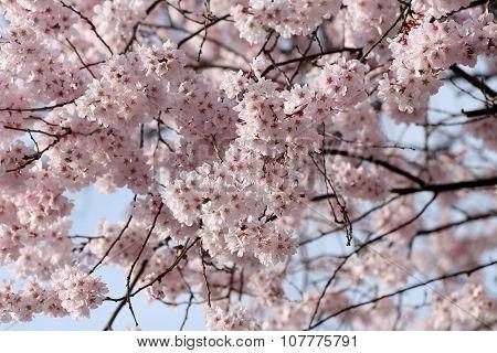 Sakura Flower Or Cherry Blossoms.