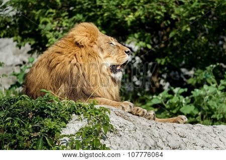 Pride Profile Of Male Lion Resting On Stone Cliff At Green Bushes Background