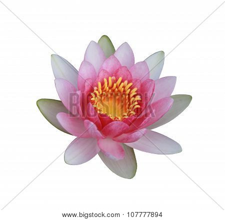 Pink Lotus Or Water Lily Isolated On White Background.