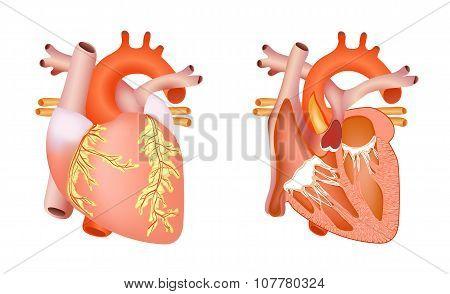 medical human heart