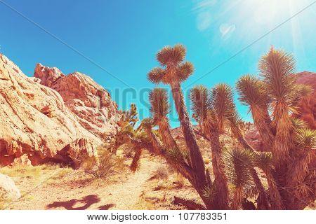 Joshua tree in  desert