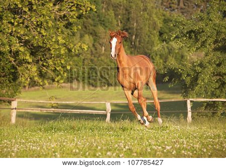 Young Mare Gallops On Pasture