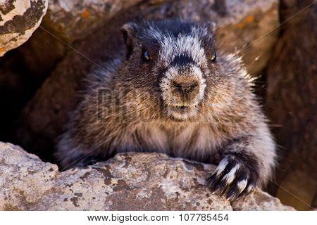 Marmot under a rock