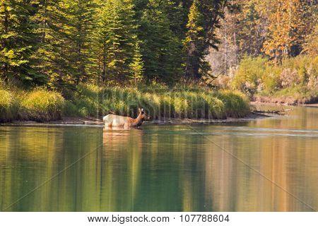 Elk swimming across river