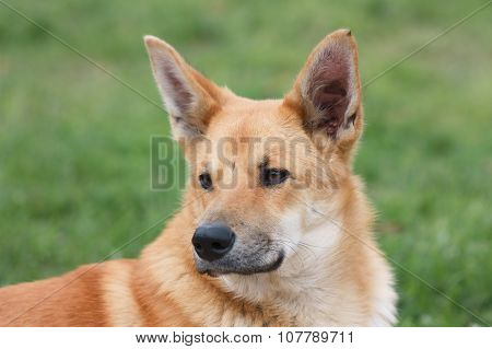 Portrait Of Red Dog
