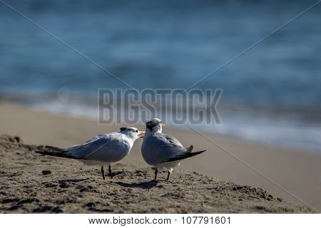 The Couple Of Royal Terns At The Malibu Beach