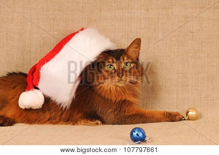 Somali cat in Santa hat