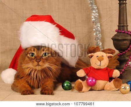 Cute somali cat portrait in Santa hat