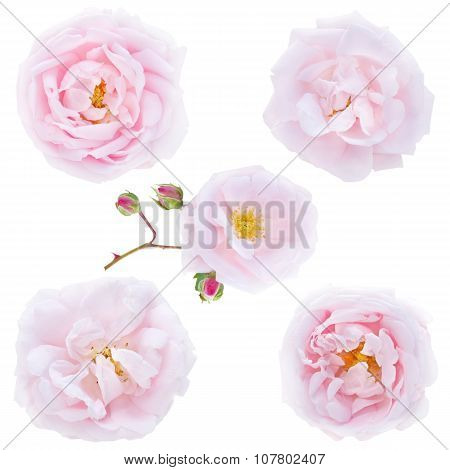 Five Pale Pink Roses Isolated On White