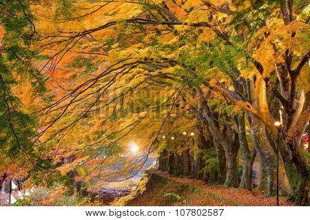 Maple Corridor near Kawaguchi Lake in Japan during autumn.