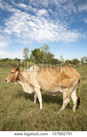 Cow In Field With Bi9G Ears Agriculture Asia