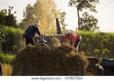 Threshing rice