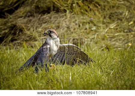Falcon On The Grass