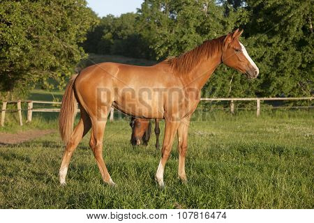 Yearling Filly On Pasture