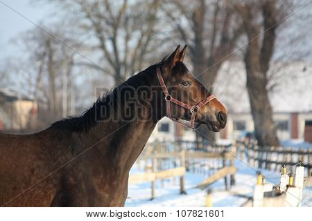 Brown Horse Portrait At The Stable Pasture
