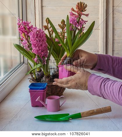 Female Hands Hyacinth In A Pot Transplanted