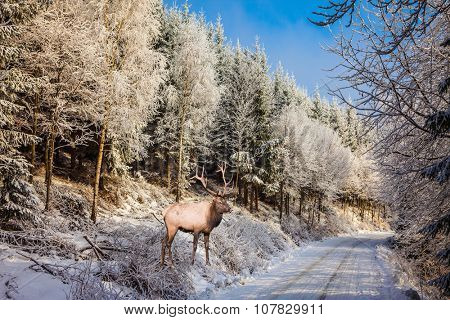Sunny day at Christmas. The snow-covered road in the northern forest. The red deer with branchy horns costs on skiing run