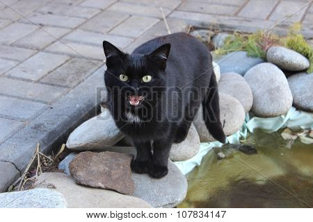 Black Cat Meows