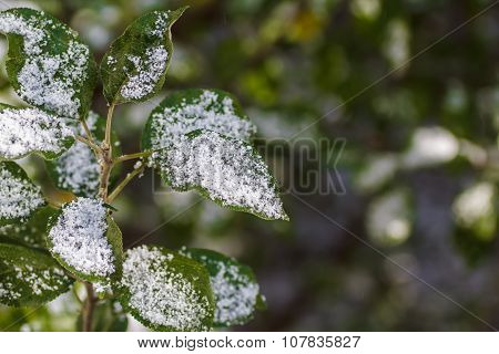 The First Snow Fell On The Leaves Of Apple Trees