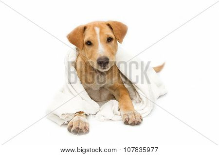 Sick Dog Under A Blanket, Isolated On White