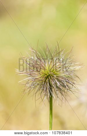 Seedhead of European Pasqueflower