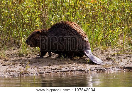 Beaver on a riverbank